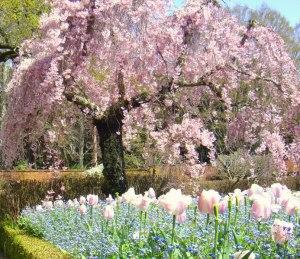 満会の桜とチューリップ@Filoli