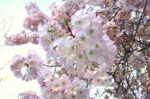 アパート内の桜